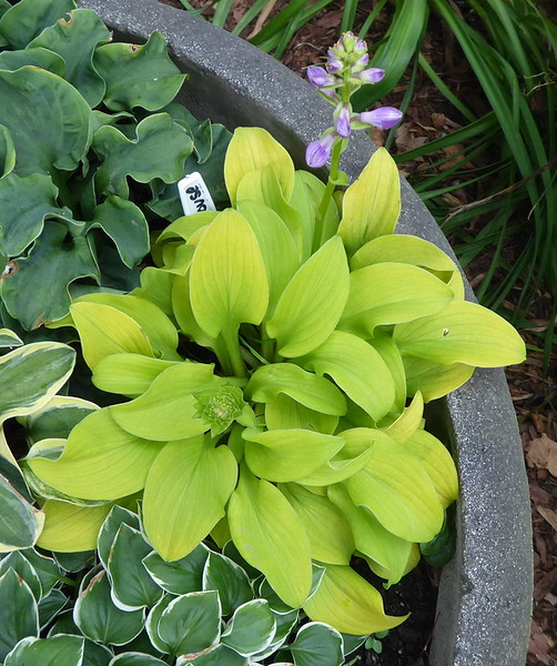 Hostas In My Garden Sq Sz Violaann
