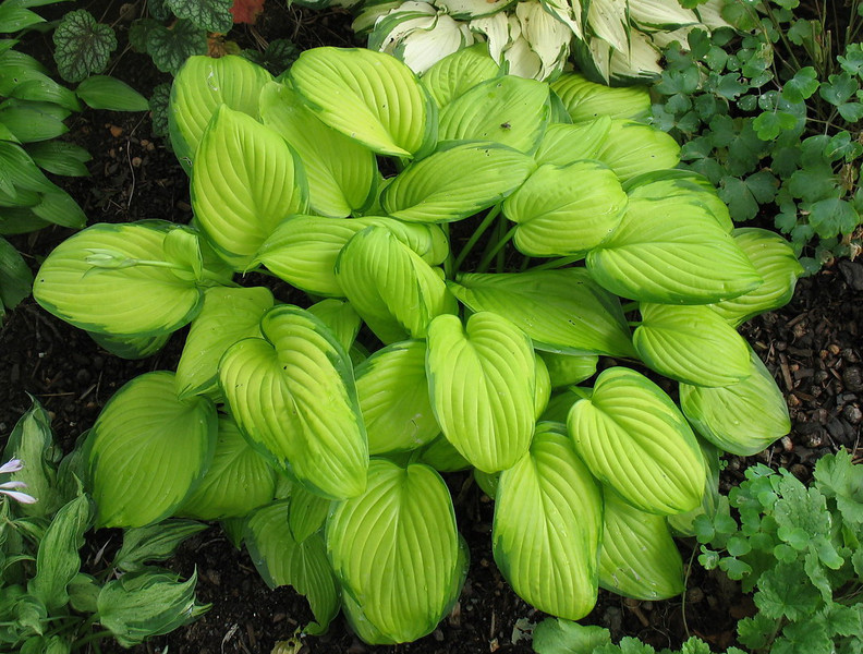 Hosta 'Stained Glass' - 2013 - July 28