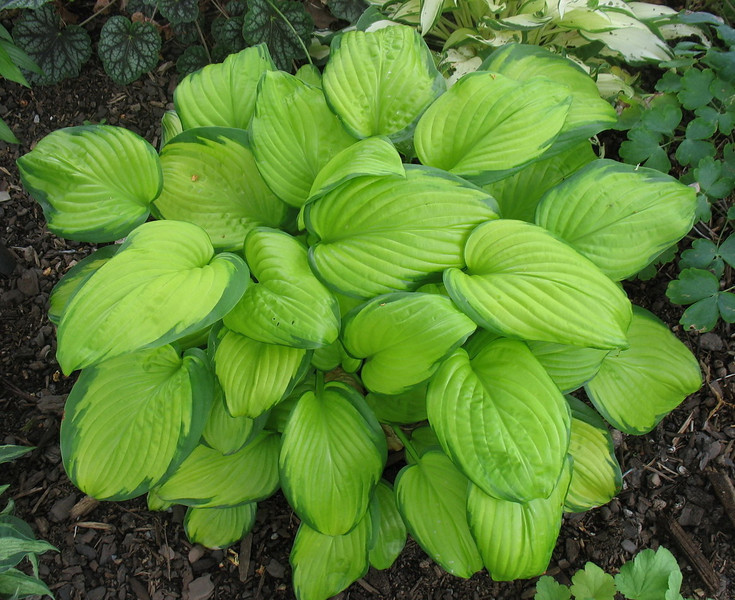 Hosta 'Stained Glass' - 2012 - July 15