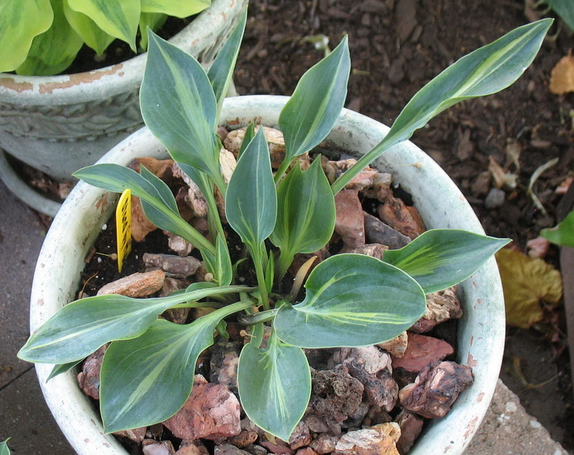 Hosta 'Stand By Me' - 2012 - July 14