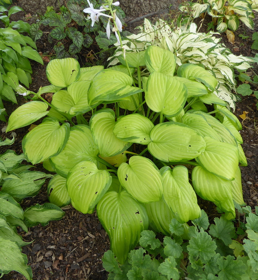 Hosta 'Stained Glass' - 2017 - Aug. 15