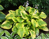 Hosta 'Summer Breeze' - 2009