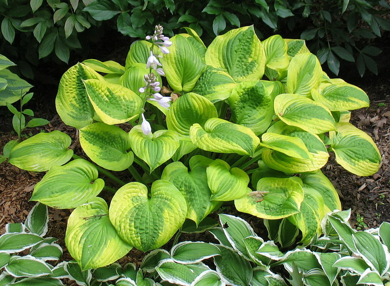 Hosta 'Summer Breeze' - 2014 - July 16