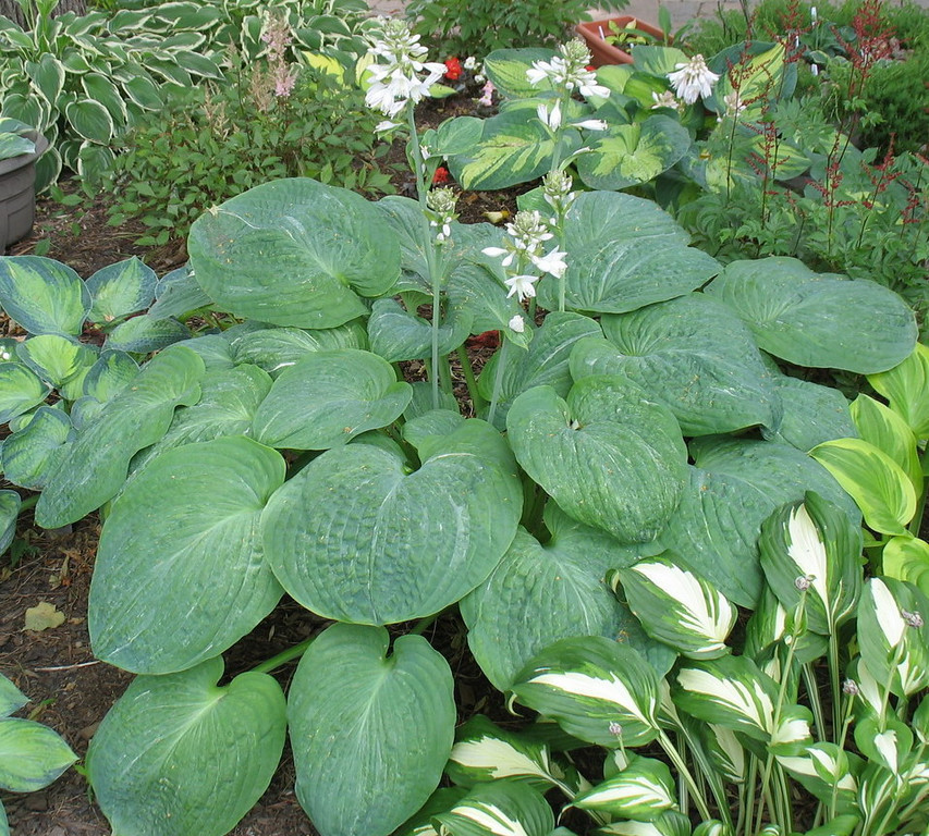 Hosta 'Spilt Milk' - 2010