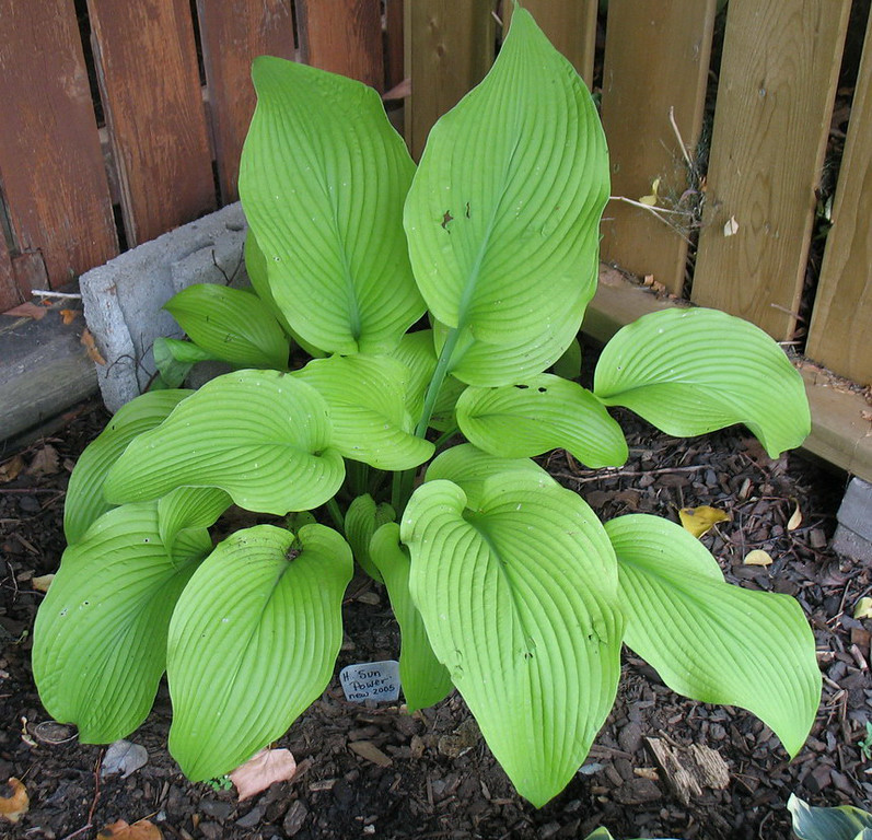 Hosta 'Sun Power' - 2014 - July 27