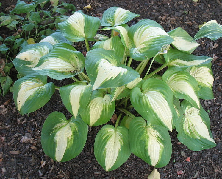 Hosta 'Summer Music' - 2011