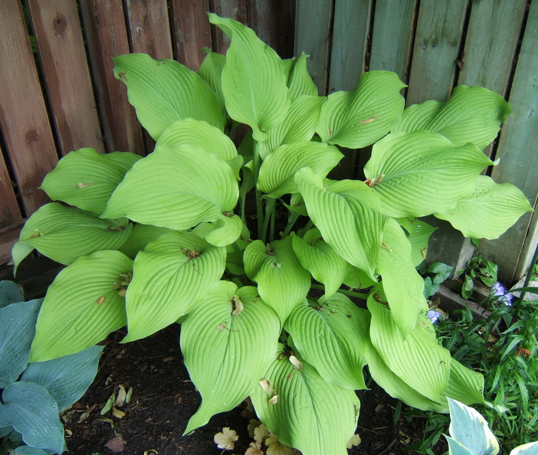Hosta 'Sun Power' - 2009