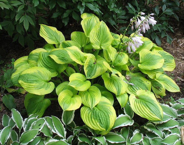 Hosta 'Summer Breeze' - 2013 - July 23
