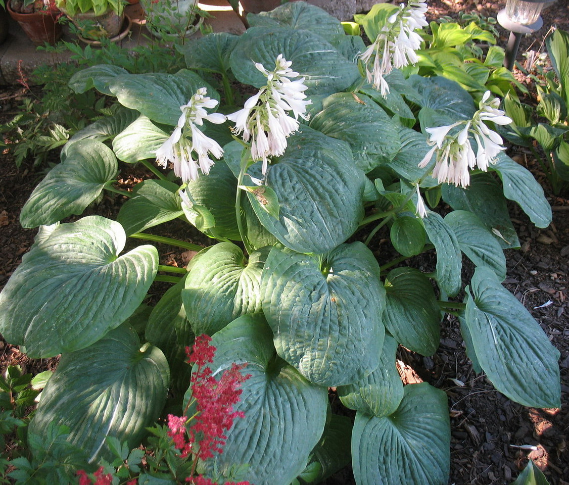 Hosta 'Spilt Milk' - 2013 - July 11