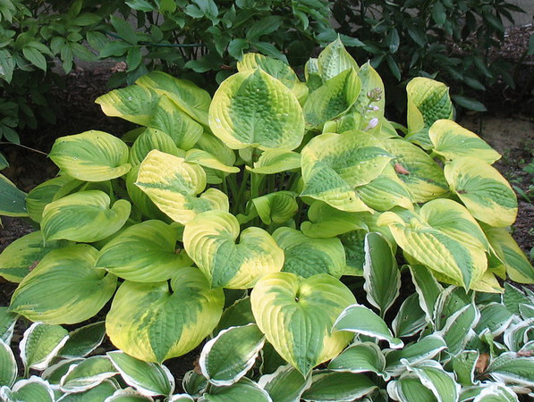 Hosta 'Summer Breeze' - 2011