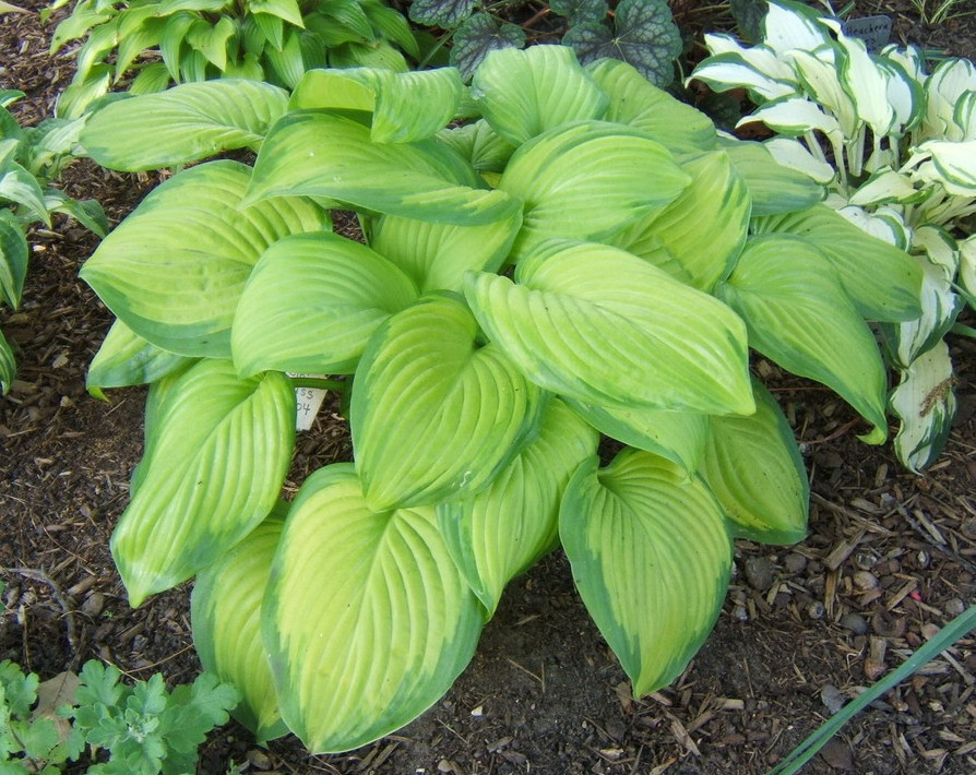 Hosta 'Stained Glass' - 2009