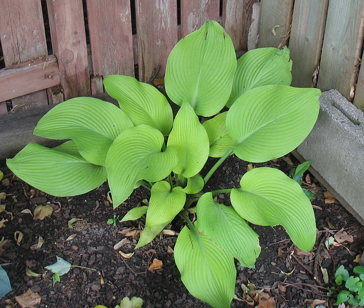 Hosta 'Sun Power' - 2011
