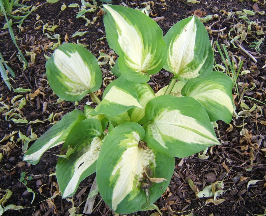 Hosta 'Summer Music' - 2009