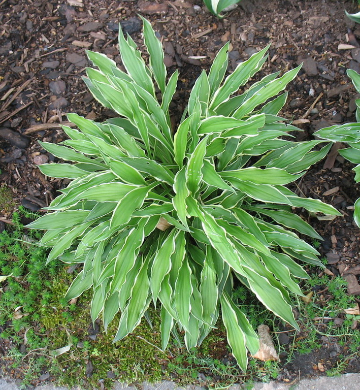 Hosta 'Stiletto' - 2012 - July 3<br /> <br /> Not much change - should consider dividing this one for more.