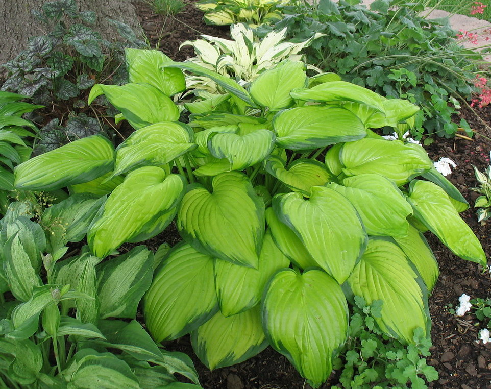 Hosta 'Stained Glass' - 2010