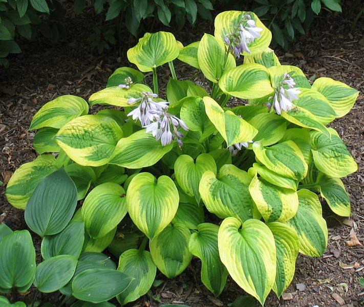 Hosta 'Summer Breeze' - 2016 - July 23