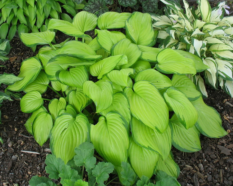 Hosta 'Stained Glass' - 2014 - July 16
