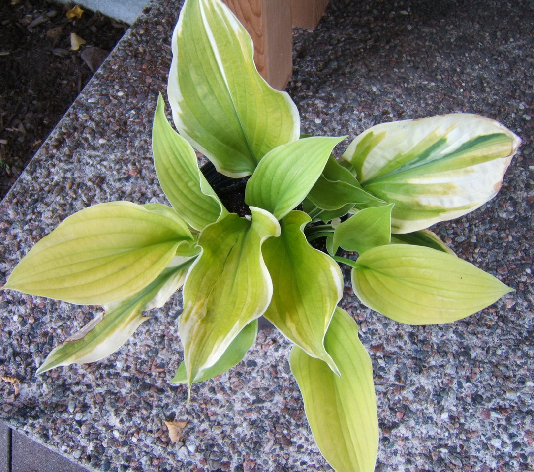 Hosta 'Splendid Sarah' - 2016 -  Aug. 11