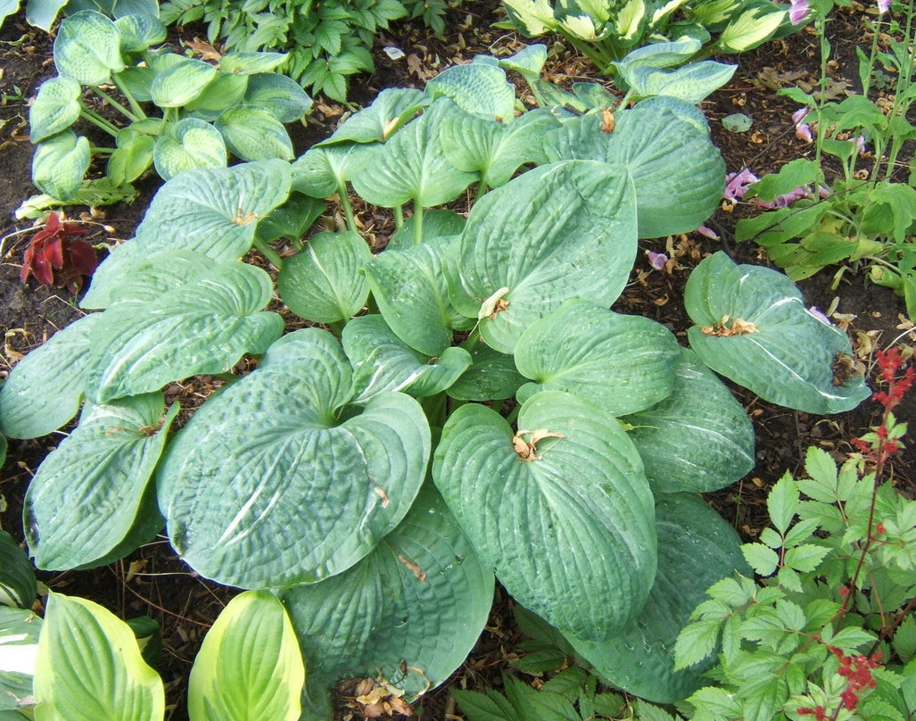 Hosta 'Spilt Milk' - 2009