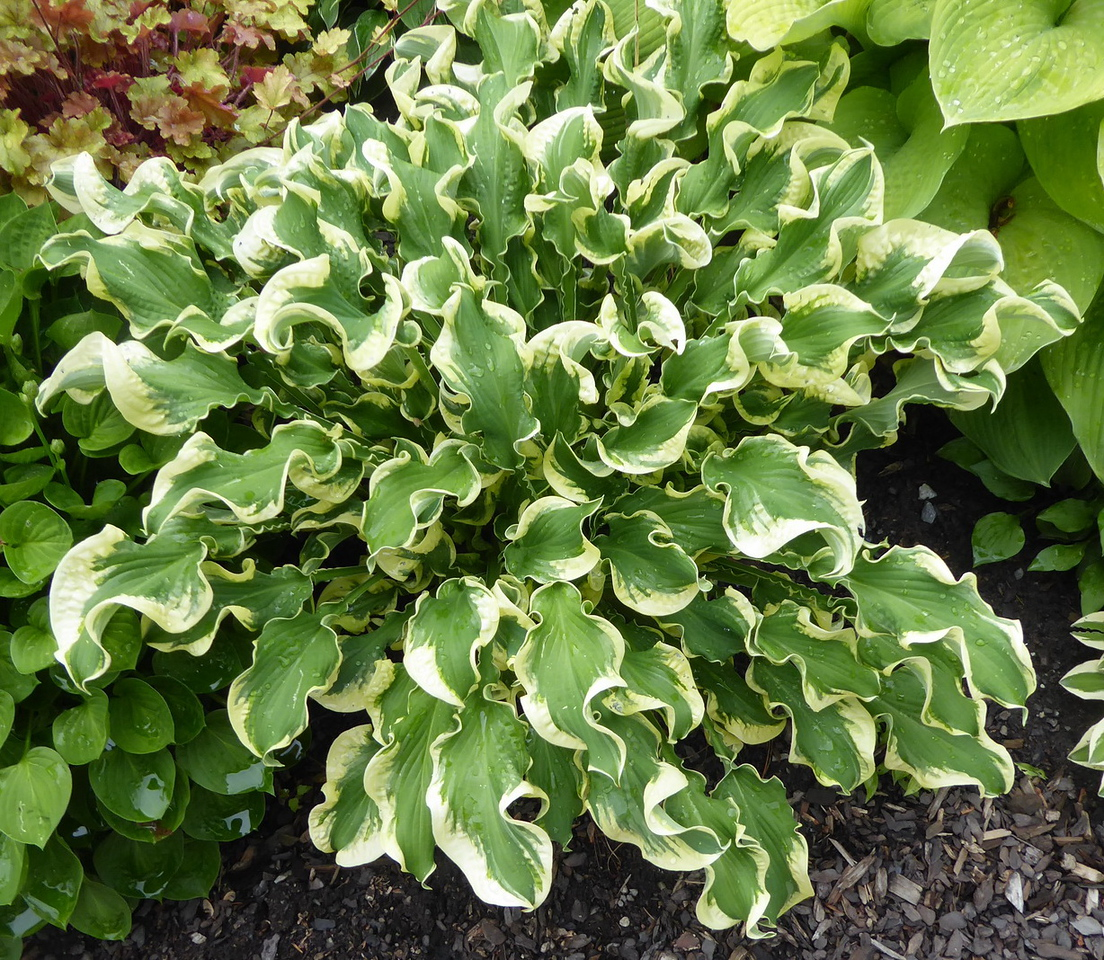 Hosta 'Wheee!' - 2017 - July 1