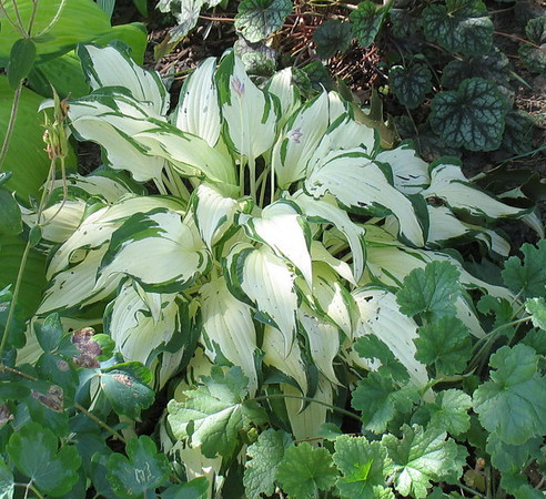 Hosta 'White Christmas' - 2011