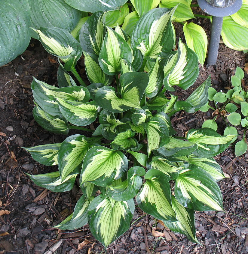 Hosta 'Whirlwind' - 2013 - July 28