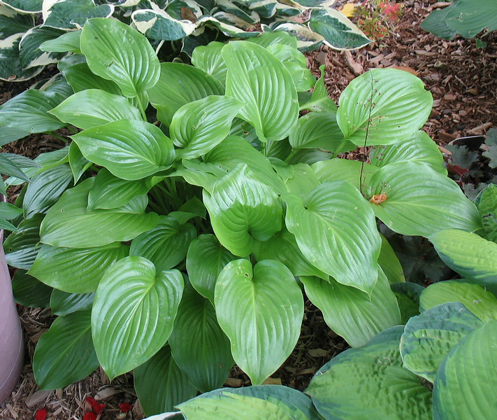 Hosta 'Venus' - 2014 - Aug. 9