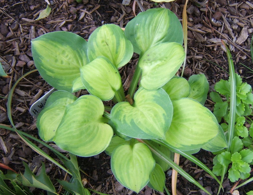 Hosta 'Wylde Green Cream' - 2009