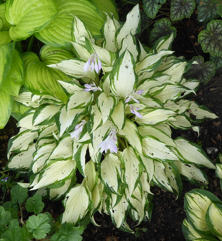 Hosta 'White Christmas' - 2017 - July 27
