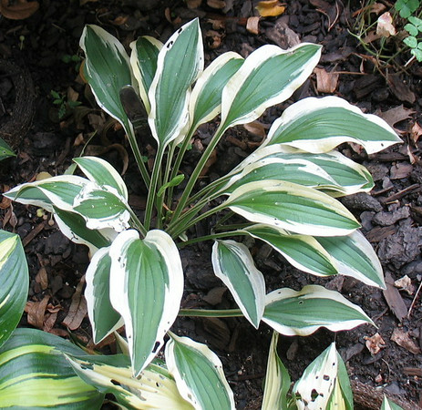 Hosta 'White Dove' - 2014 - July 27