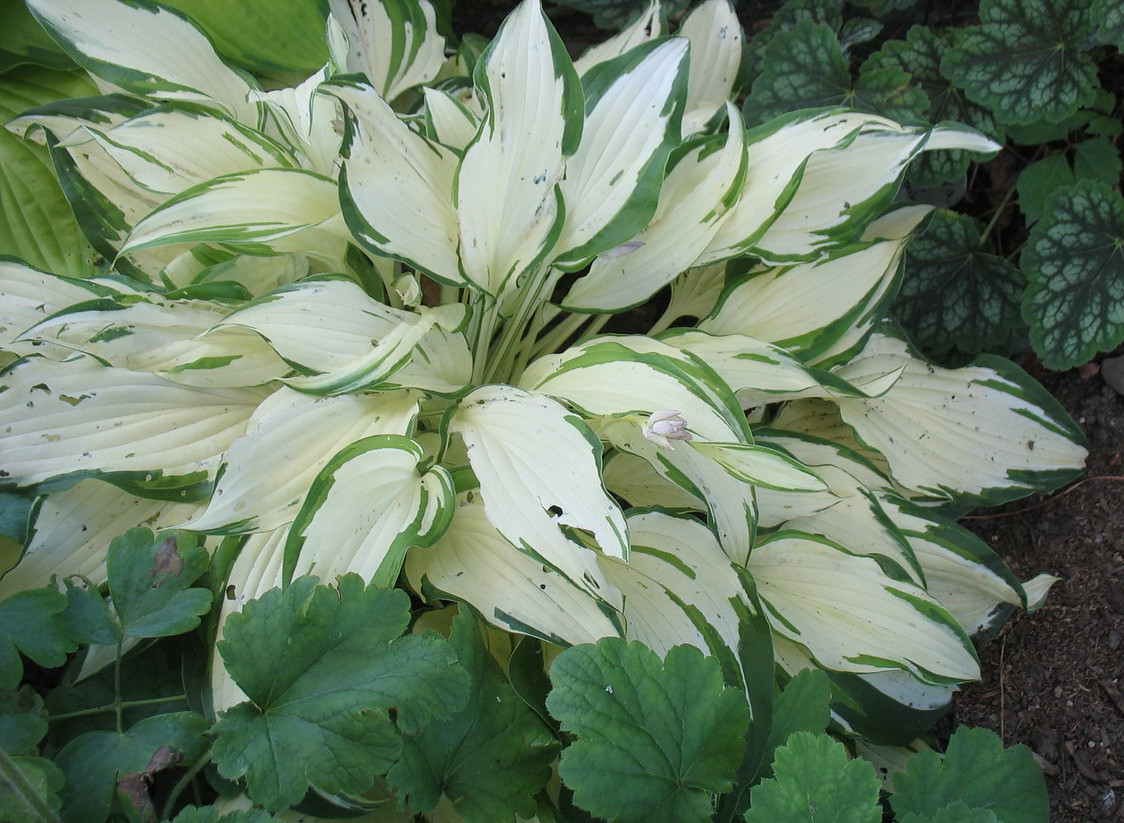 Hosta 'White Christmas' - 2013 - July 11