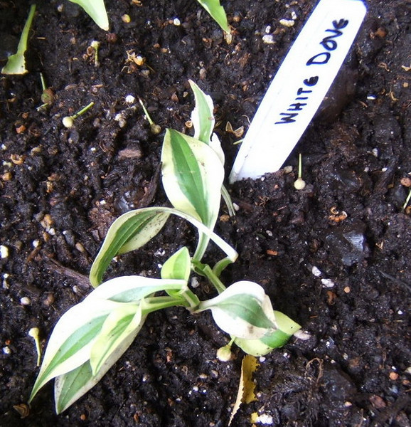 Hosta 'White Dove' - 2008