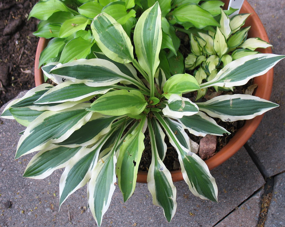 Hosta 'White Dove' - 2010