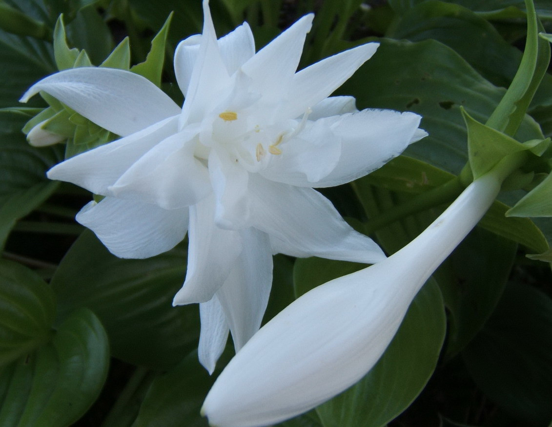 Hosta 'Venus' - blooming 2009