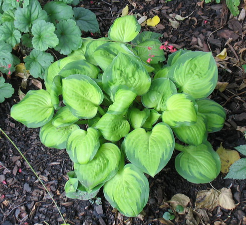 Hosta 'Wylde Green Cream' - 2011