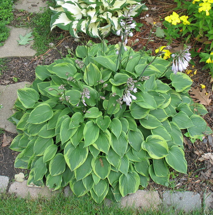 Hosta 'Warwick Curtsey' - 2012 - June 26