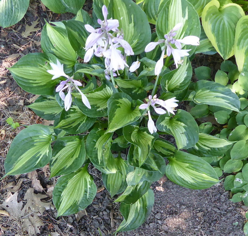 Hosta 'Whirlwind' - 2017 - Aug. 5