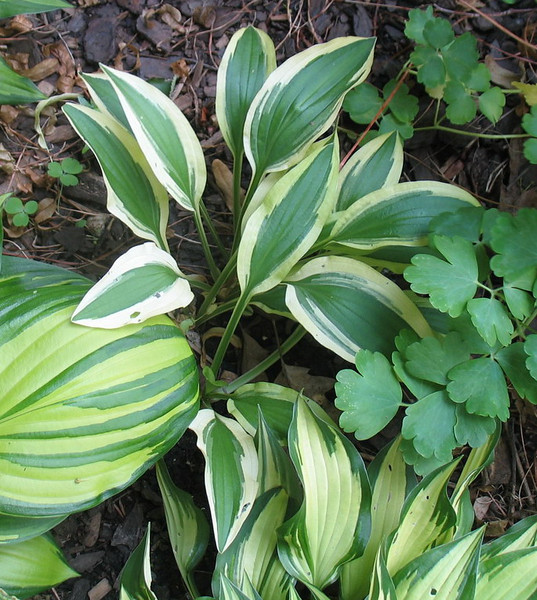 Hosta 'White Dove' - 2013 - June 25