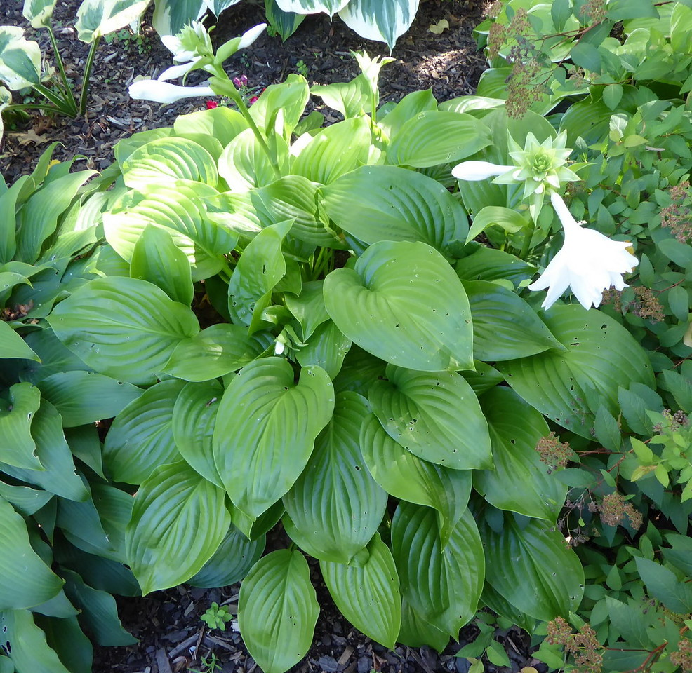Hosta 'Venus' - 2016 - Aug. 22