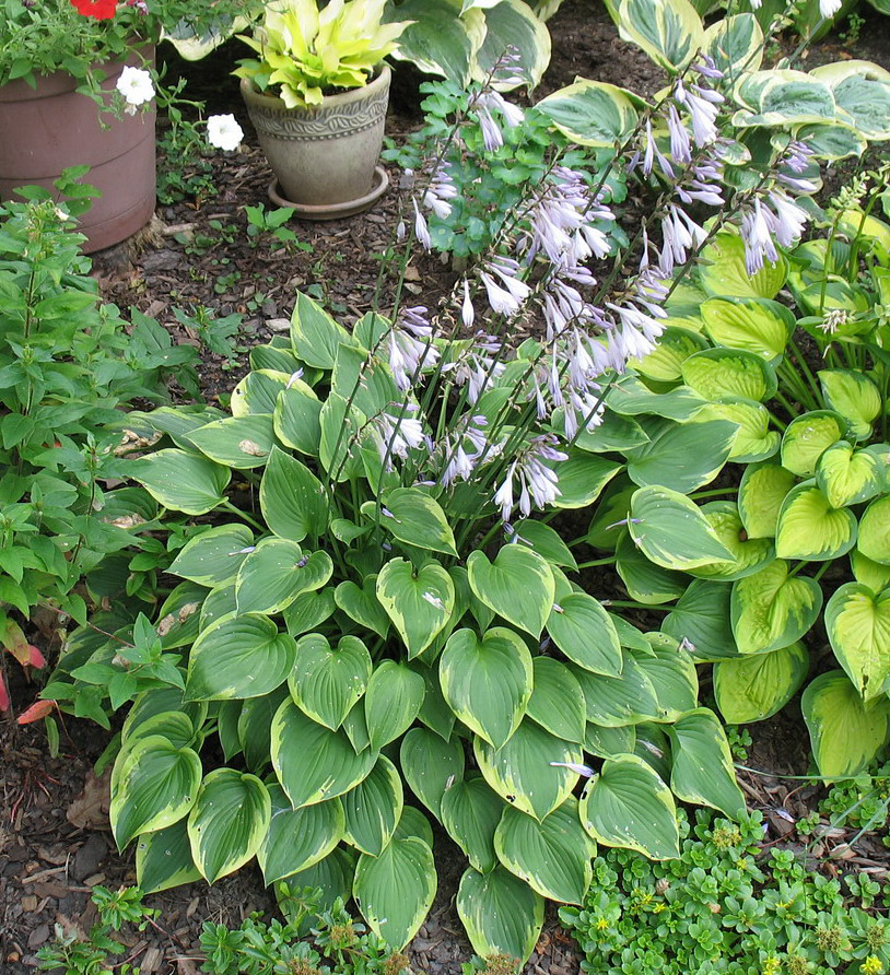 Hosta 'Warwick Curtsey' - 2013 - July 23