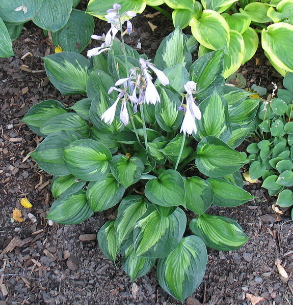 Hosta 'Whirlwind' - 2016 - Aug. 5