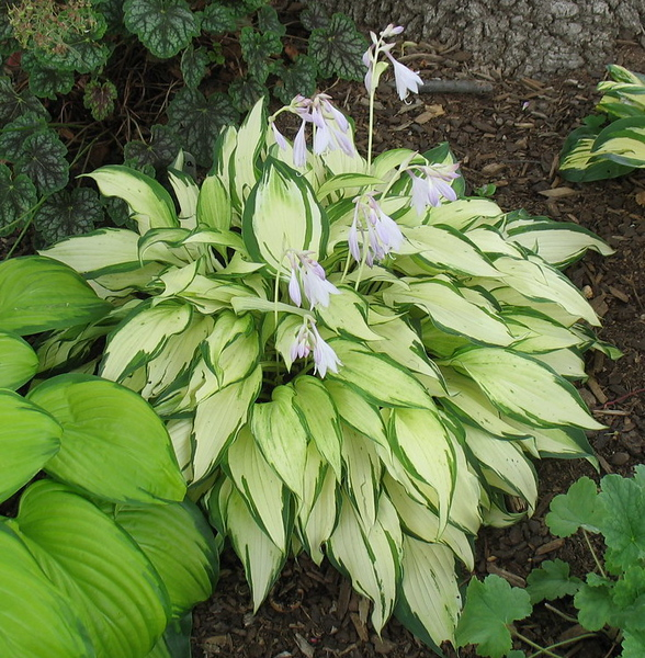 Hosta 'White Christmas' - 2016 - July 23