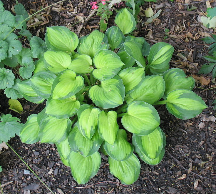 Hosta 'Wylde Green Cream' - 2012 - June 26