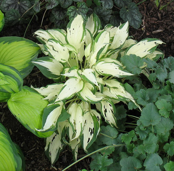 Hosta 'White Christmas' - 2010
