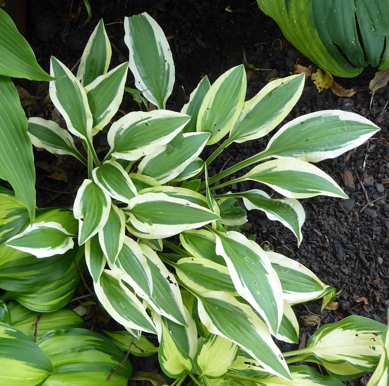 Hosta 'White Dove' - 2017 - July 1
