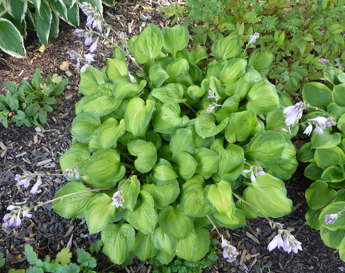Hosta 'Wylde Green Cream' - 2017 - July 27