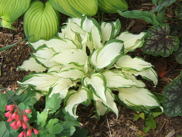 Hosta 'White Christmas' - 2009