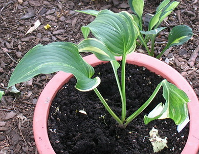 Hosta 'Viola Ann' (formerly OHS Streaker) - 2010 - June