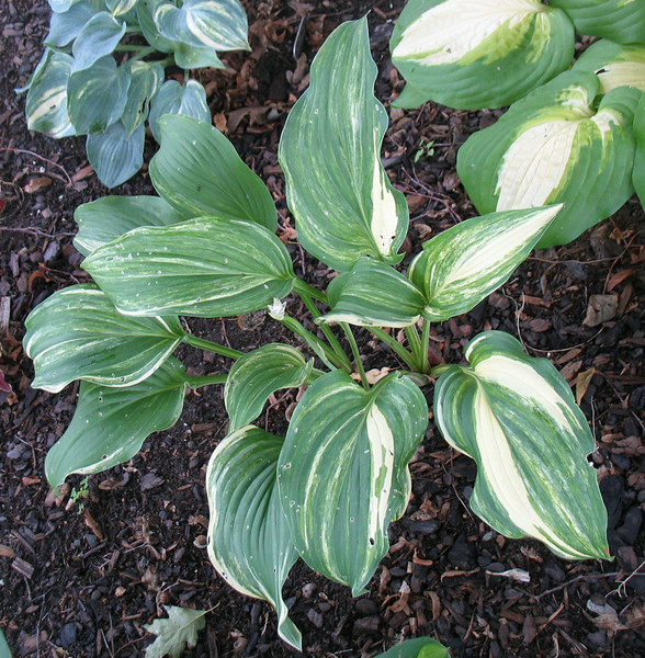 Hosta 'Viola Ann'  - 2013 - July 28