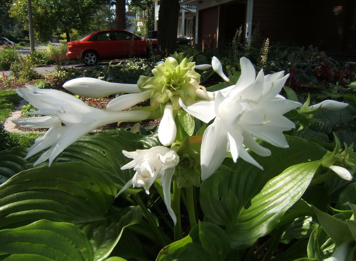 Hosta 'Venus' - blooming 2009